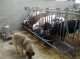 Ferme De Scay, Vaches Laitières Et Pisciculture - image 3