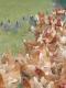 Volailles Du Mesnil - image 1