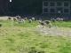 Les Canards Des Londes - image 2