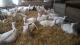 La Chèvre à Dorey - image 5