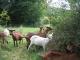 La Chèvre Qui Rit - image 4