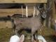 La Chèvre Qui Rit - image 5