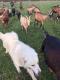 La Chèvre Rit - image 2